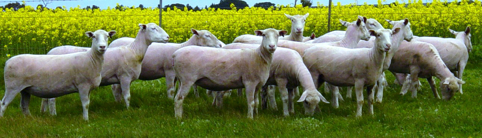 originalSale 2009 ewes colour D